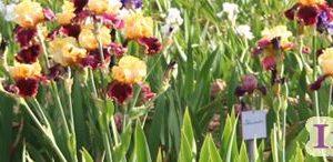 Lomer Iris Garden