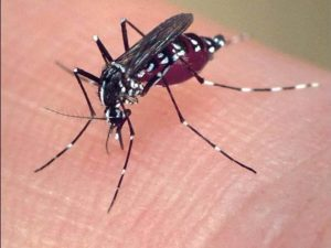 TigerMosquito